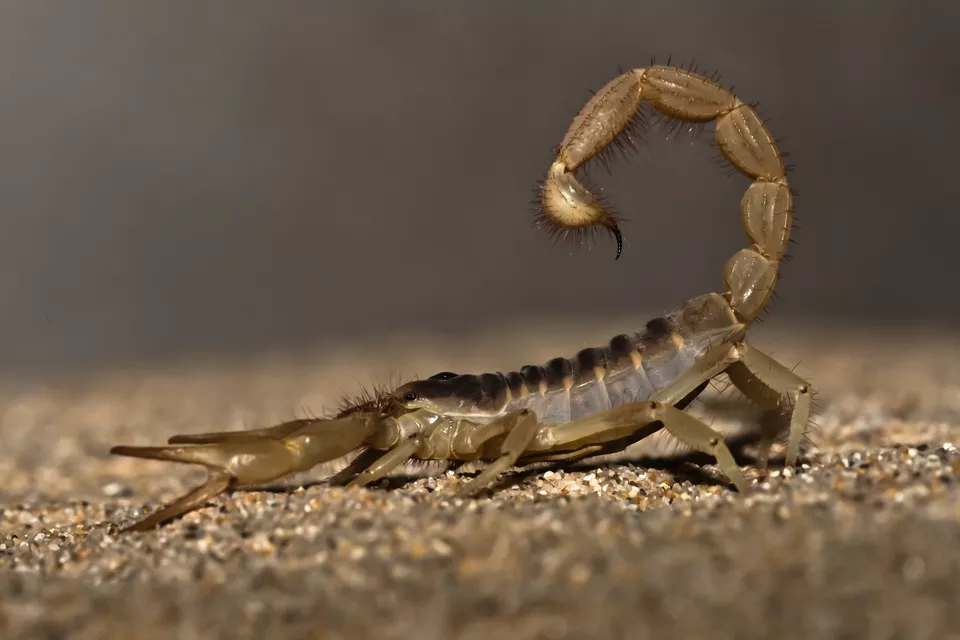 Giant desert hairy scorpion (Hadrurus arizonensis)