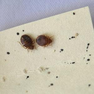 Two adult bed bugs in a petri dish - Photo Credit: Kim Jung