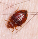 Figure 3: Bed bug during course of 12-minute feeding.
