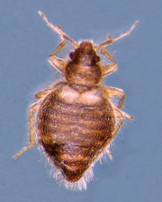 Figure 2: Hesperocimex coloradensis