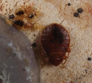 Figure 5: Bed bug adult and nymphs. Photo courtesy of Gary Alpert, Harvard University.