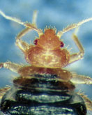 Figure 7: Bed bug, head end.