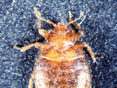 Figure 8: Bat bug, head end.