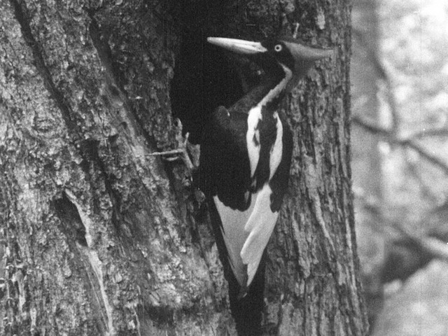 Ivory-billed Woodpecker (Northern)