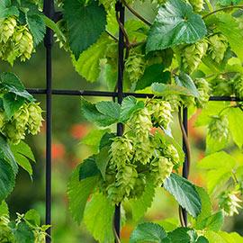 Columbus Hops vine