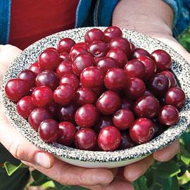 Carmine Jewel Dwarf Cherry