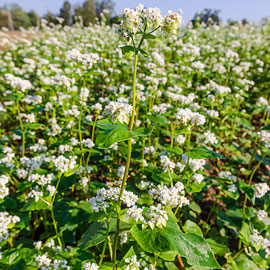 Cover Crop Buckwheat