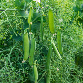 Petite Parsley Snap Pea