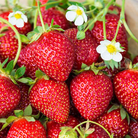 Ozark Beauty Everbearing Strawberry
