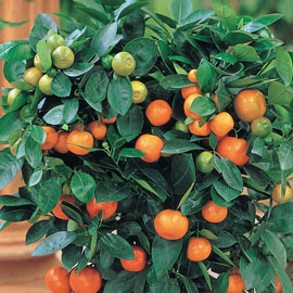 Dwarf Calamondin Orange