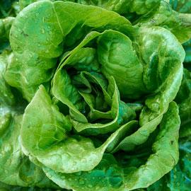 Buttercrunch Butterhead Lettuce
