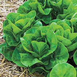Starhawk Romaine Lettuce