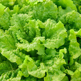 Black-Seeded Simpson Lettuce