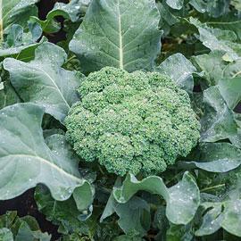 Premium Crop Hybrid Broccoli