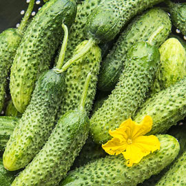 Cucumber Pickling Miss Pickler Hybrid Pkt