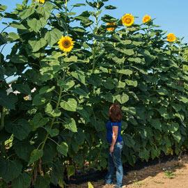 Mammoth Gray Stripe Sunflower
