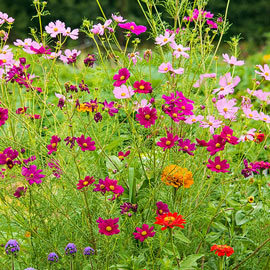 Monarch Butterfly Garden Mix