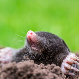 Mole-Relief™ Mole & Vole Repellent