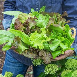 Gurney's® Premium Lettuce Blend Pkt