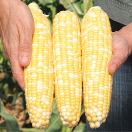 Gotta Have It® Hybrid Sweet Corn