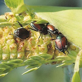 beetleJUS!<sup>®</sup> Beetle Control for Ornamentals and Vegetables