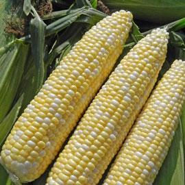 Allure Hybrid Sweet Corn (sy)