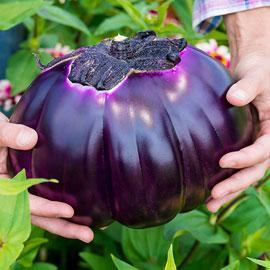 Prosperosa Eggplant