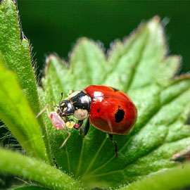 Sta-Home<sup>&trade;</sup> Lady Beetles
