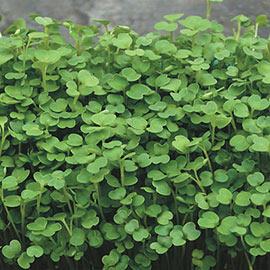 Organic Arugula Microgreen