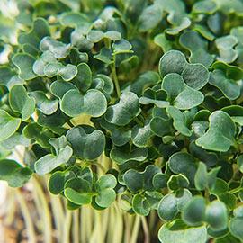 Organic Kale Microgreen