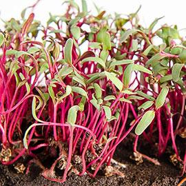 Organic Beet Microgreen