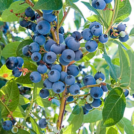 Ka-Bluey® Blueberry