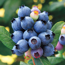 Perpetua™  Blueberry