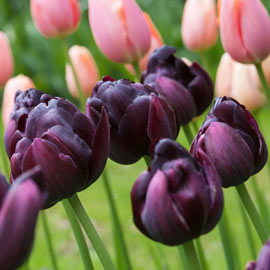 Black Hero Tulip