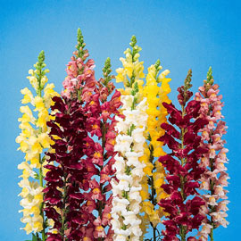 Rocket Hybrid Snapdragon Mix