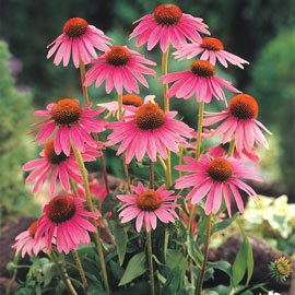 Herb Echinacea Plant