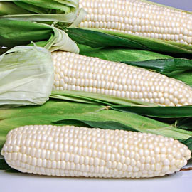 Eden Hybrid Sweet Corn
