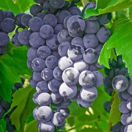 Everest Seedless Grape Vine