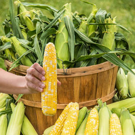 Sweet Corn Simply Irresistible™