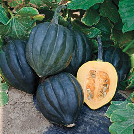 Black Bellota Hybrid Winter Squash