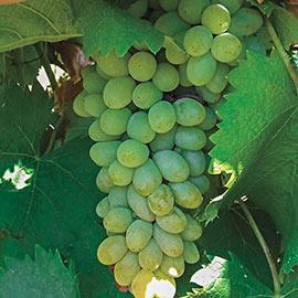 Neptune Seedless Grape
