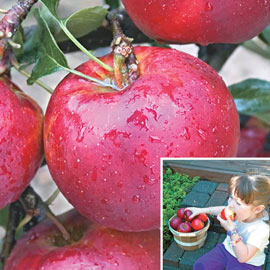 Pixie Crunch® Apple Tree