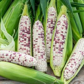 Wild Violet Sweet Corn Pkt