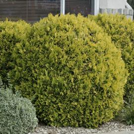 Golden Globe Arborvitae Hedge