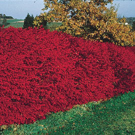 Dwarf Burning Bush Hedge