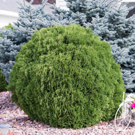 Woodward Globe Arborvitae Hedge