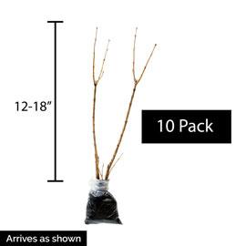 Donald Wyman Jumbo Lilac Hedge