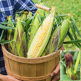 Picasso Hybrid Sweet Corn