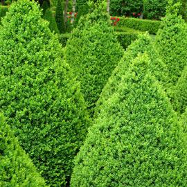 Green Mountain Boxwood Hedge