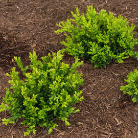 Green Velvet Boxwood Hedge